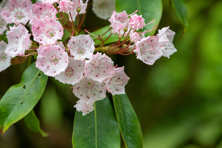 Close up of flowers on a mountain laurel tree