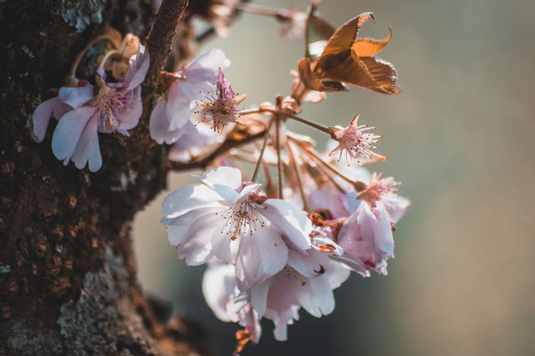 Beauty In Nature Blossom Branch Cherry Blossom Cherry Tree Close-up Day Flower Flower Head Flowering Plant Fragility Freshness Growth Inflorescence Nature No People Outdoors Petal Plant Pollen Spring Springtime Tree Vulnerability