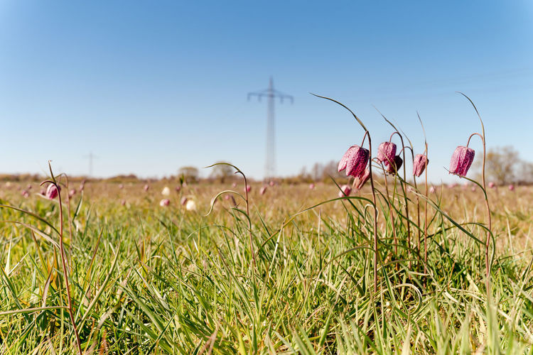 Field full o flowering purple chequered lily, fritillaria meleagris or snake's head fritillary.