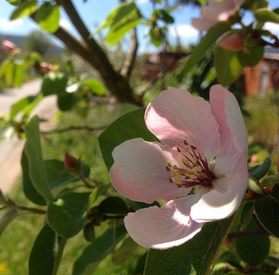 Ayva çiçek Açmış Yaz Mı Geliyor