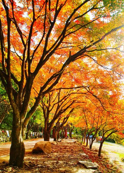 Tree Trunk Tree Tunnel South Korea Autumn Autumn colors Autumn Leaves Beauty In Nature Tree Branch Autumn Tree Trunk Leaf Sky Landscape Maple Streaming Maple Tree Maple Leaf Sunbeam Autumn Collection Leaves