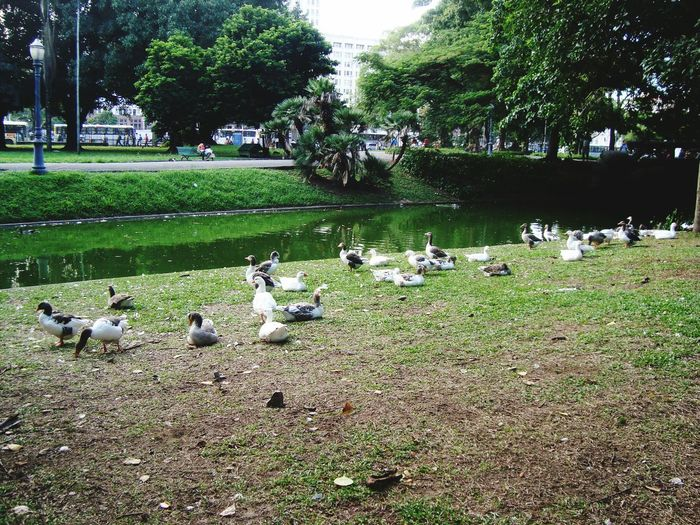 Bird Large Group Of Animals Animal Themes Animals In The Wild Flock Of Birds Animal Wildlife Goose Tree Geese Nature Grass Outdoors Day Green Color Duck Growth Water Bird Water No People Perching