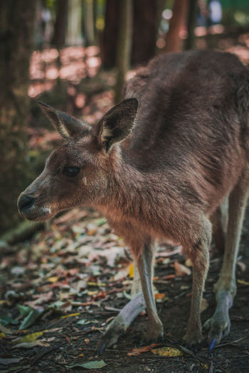 Close-up kangaroo in forest