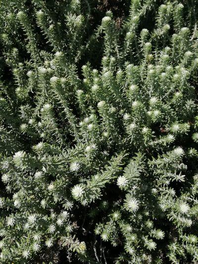 fynbos Greenery