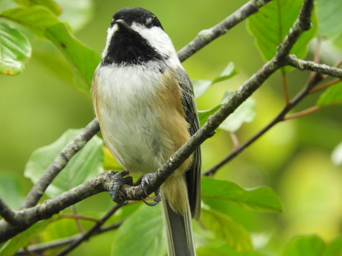 Black Capped Chickadee Chicadee Bird Bird On A Branch Green Background Bird Photography Birds Of EyeEm  Birds_collection Bird In Nature Nature Photography Nature Beauty In Nature Peaceful Calm Bird Watching Bird Perching Tree Branch Animal Themes Close-up Songbird