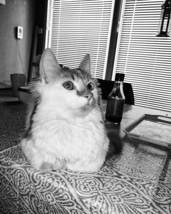 MyLove ♡ Beauty Cat♡ Mycat♥