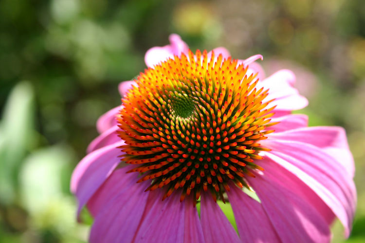 Beauty In Nature Blooming Close-up Coneflower Day Eastern Purple Coneflower Flower Flower Head Fragility Freshness Growth Nature No People Outdoors Petal Pink Color Pollen