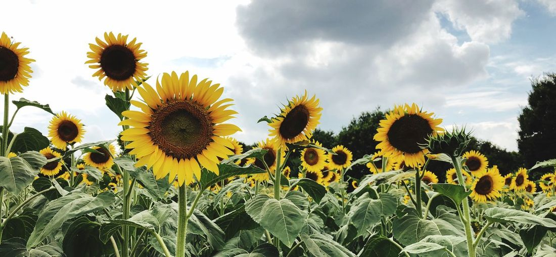 Plant Growth Flower Yellow Sunflower Flowering Plant Flower Head Beauty In Nature Cloud - Sky Sky
