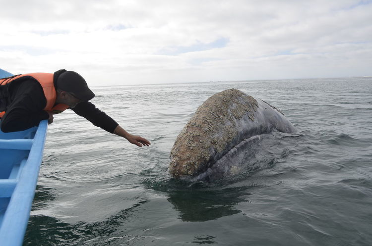 Animal Themes Animal Wildlife Animals In The Wild Aquatic Mammal Beauty In Nature Gray Whale Guerrero Negro Mexico Horizon Over Water Mammal Nature One Animal One Person Outdoors Real People Sea Sea Life Water Whale