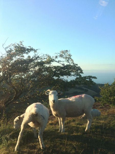 Smile Back Side View Relax Time  By The Sea Landscape Farm Life Animal Seaside Sheep Domestic Animals Animal Mammal Pets Domestic