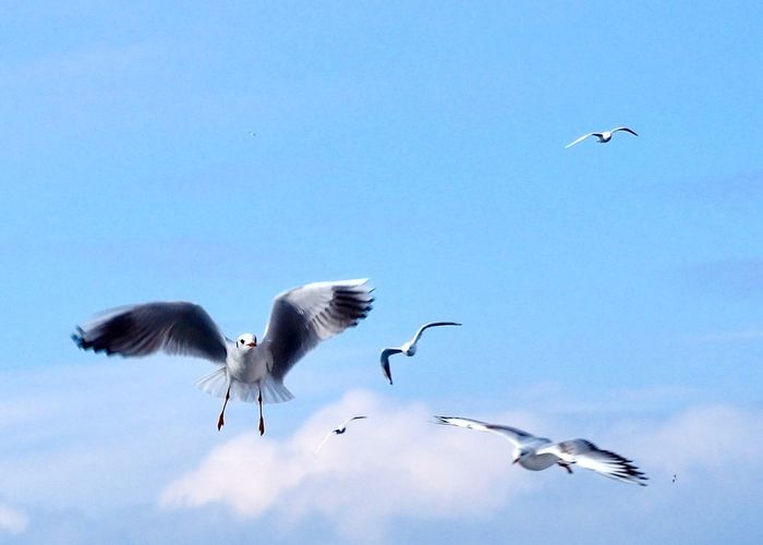 Flying Bird Sky Animal Animal Themes Group Of Animals Vertebrate Spread Wings Animals In The Wild Low Angle View Nature Mid-air Flock Of Birds Day Motion Blue Beauty In Nature Clear Sky No People
