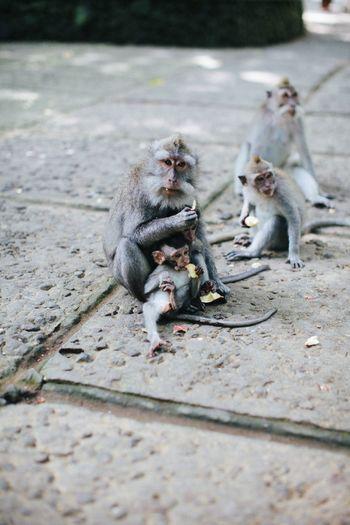 Monkey Wild Wildlife Nature Monkeys Jungle Monkey Forest Ubud Ubud, Bali Bali Bali, Indonesia Adventure Wildlife & Nature Baby Monkey Baby Animals Animals Wild Animal