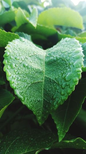 fresh leaf with dew EyeEmNewHere Green Leaf Close-up Plant Green Color Dew Plant Life Drop Botany Wet Droplet
