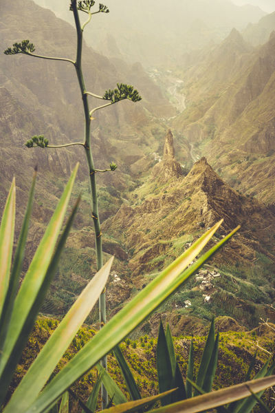 Close up of agava plants and rocky mountains in background in Xo-xo valley in Santo Antao island, Cape Verde. Yucca Flower Africa Arid Climate Beauty In Nature Day Environment Green Color Growth High Angle View Idyllic Land Landscape Mountain Nature No People Non-urban Scene Outdoors Plant Rural Scene Scenics - Nature Tranquil Scene Tranquility Tree Tropical Valley