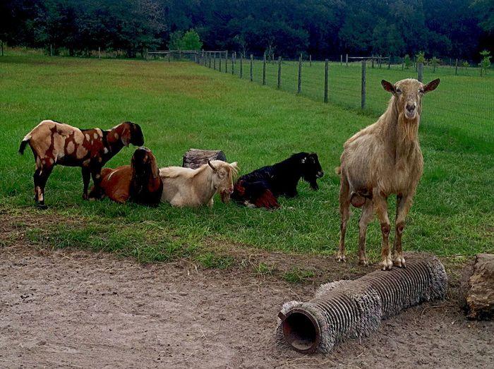 Goats Farm Life Bucks The Boys #Serenitygoats