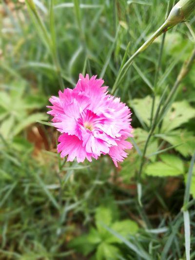 oeillet Oeillet Flower Head Flower Pink Color Close-up Plant