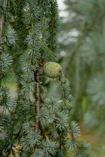 Tree Plant Green Color Growth Focus On Foreground Pine Tree No People Day Coniferous Tree Nature Close-up Beauty In Nature Needle - Plant Part Branch Pinaceae Outdoors Pine Cone Freshness Leaf Low Angle View Fir Tree Zapfen