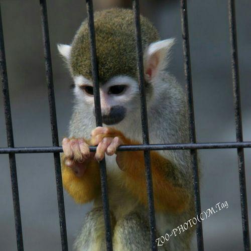 ZOO-PHOTO Zoo Animals コモンリスザル 江戸川区自然動物園 何故こんなことになったんだ!