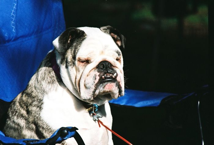Camping Dog Dogs Dogslife English Bulldog EnglishBulldog Relaxing Sitting