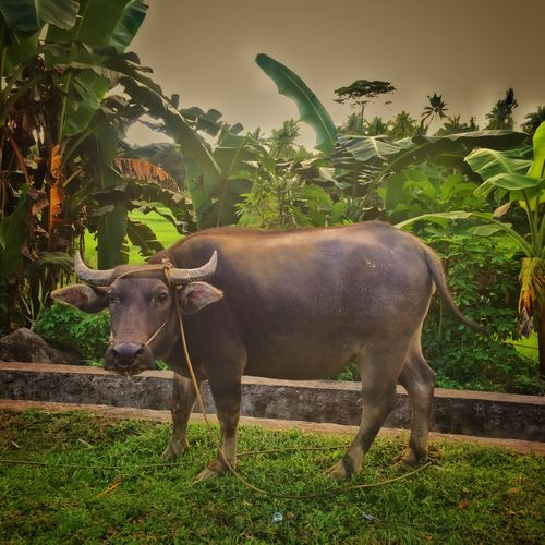 The national animal of the Philippines: the carabao: helping farmers in traditional farming .plowing the ricefields prior to planting rice. LLLimages Carabao Carabaos Philippines Photos Philippines Rural Farming Farm Animals