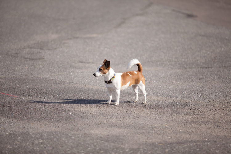 Dog on road terrier