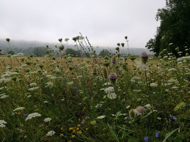 Flower Nature Outdoors Beauty In Nature Plant Fichtelgebirge 3XSPUnity Feldblume