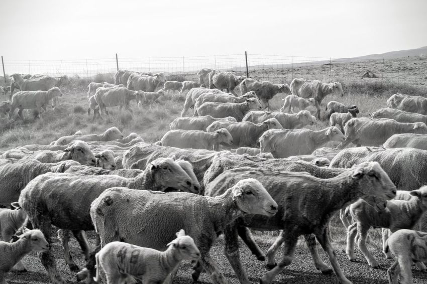 Agriculture Animal Themes Beauty In Nature Domestic Animals Flock Of Sheep Large Group Of Animals Livestock Nature Sheep Togetherness
