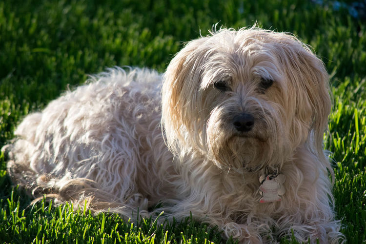 Close-Up Of Norfolk Terrier Sitting On Grassy Field