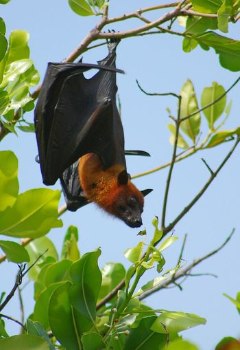 Animal Flying Fox Leaves Nature Naturelovers
