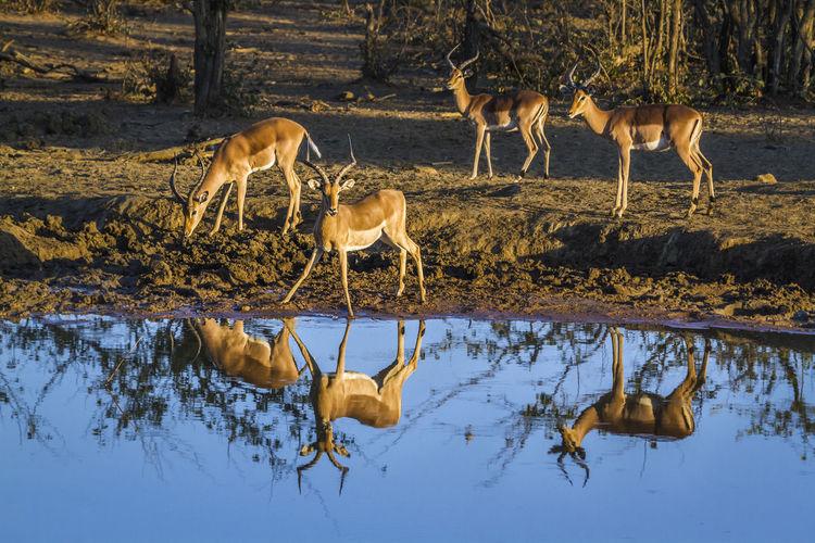 Deer drinking water in lake