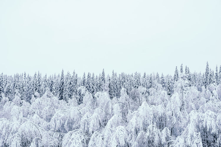 Snow covered trees in forest against clear sky during winter