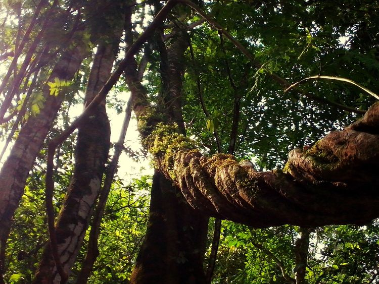Nature Tree Forest Branch Beauty In Nature Green Color Day Wood Growth Outdoors Tree Trunk No People Low Angle View Sky Freshness
