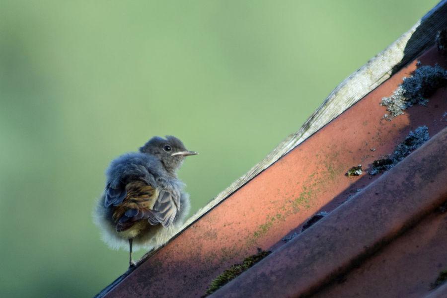 ein kleiner Nestflüchter, junger Gartenrotschwanz Animal Themes Animal Wildlife Animals In The Wild Bird Close-up Day Mammal Nature No People One Animal Outdoors Perching Redstar