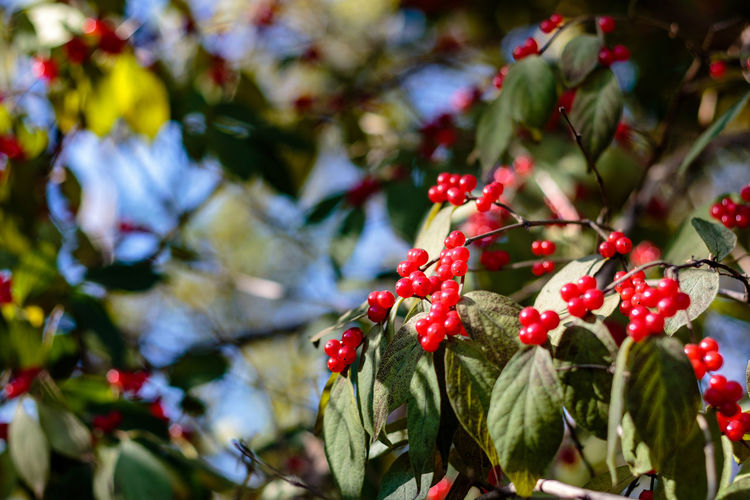 Autumn Berries Hebei Pink Red Tree Beauty In Nature Beidaihe Branch China Chinese Close-up Day Fall Focus On Foreground Freshness Fruit Green Color Growth Leaf Nature No People Outdoors Qinhuangdao Red
