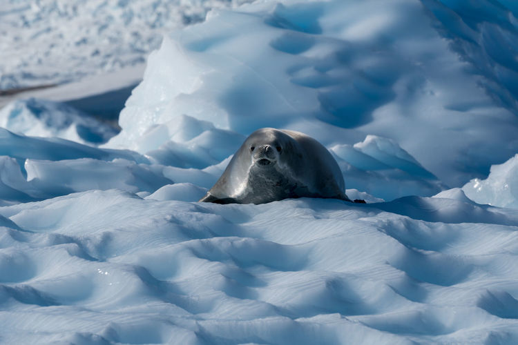 Smiling crabeater seal Antarctica Animal Themes Animal Wildlife Animals In The Wild Antarctica Aquatic Mammal Beauty In Nature Close-up Cold Temperature Crabeater Seal Day Iceberg Mammal Nature No People One Animal Outdoors Snow Swimming White Color Winter