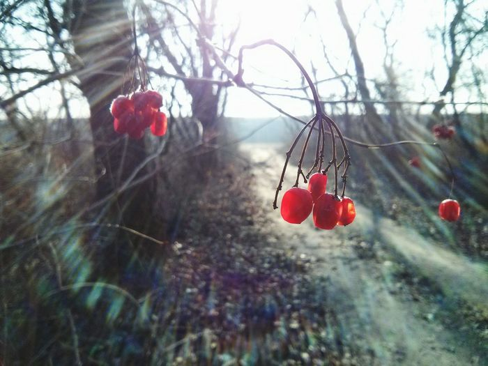 Sunlight Berry Red Berries Winter Backlight Nature