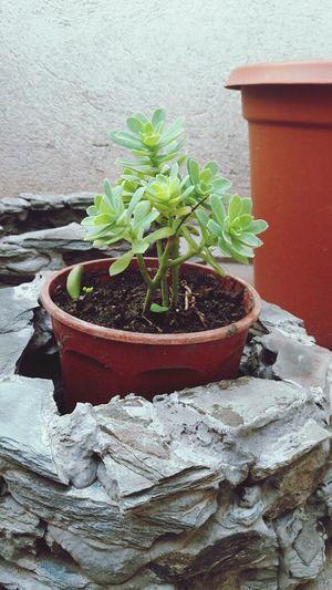 Un regalo que le hice a mi amiga Pri hace tiempo, Creo Que La Cuido bastante bien! Plant Nature Potted Plant