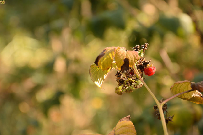 Wild raspberry on a twig in autumn Rubus Plant Beauty In Nature Vulnerability  Growth Close-up Freshness Fragility Focus On Foreground Day No People Selective Focus Outdoors Autumn Raspberry Raspberry Plant Red Leaves Friut Healthy EyeEmNewHere