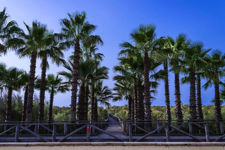 Trees Palm Plant Sky Nature Growth Blue Outdoors Green Color Land Clear Sky Protection Security Fence Barrier Travel Destinations Tourism Holiday Vacations EyeEmBestPics EyeEmNewHere EyeEm Best Shots EyeEm Nature Lover EyeEm Gallery Exceptional Photographs Isla Canela, Ayamonte (Spain)