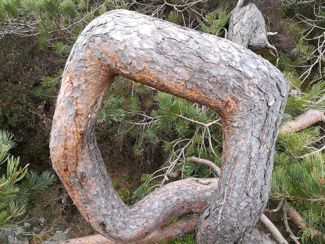 Bendy Tree Huawei P9. Caledonian Forrest Contorted Tree Contorted Trunk Tree Trunk Northeast Coast Aberdeenshire Bin Of Cullen Scots Pine