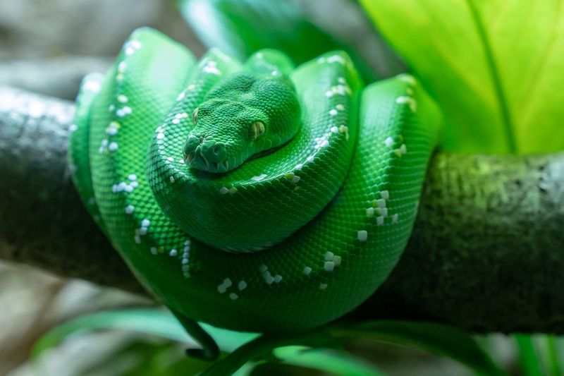 Greentreepython Green Color Close-up Animal Themes Reptile Animal Animal Wildlife Snake Focus On Foreground Nature Pattern Tree One Animal Curled Up Day Plant Vertebrate Indoors  Animals In The Wild