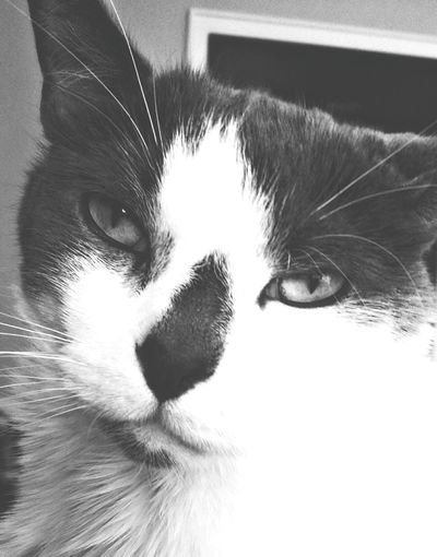 That Face Tho Lovemycat♥ Spoiled Rotten Mycatisthebest Blackandwhite Photography Pet Lover Ray is a rescue cat & I love him very much!! What I Value