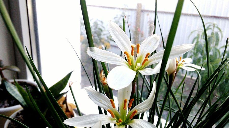 Flower Plant Flower Head Day цветок  цветы трава Нарцисс комнатный цветок подоконник горшок Grass Flower Room Windowsill Pot