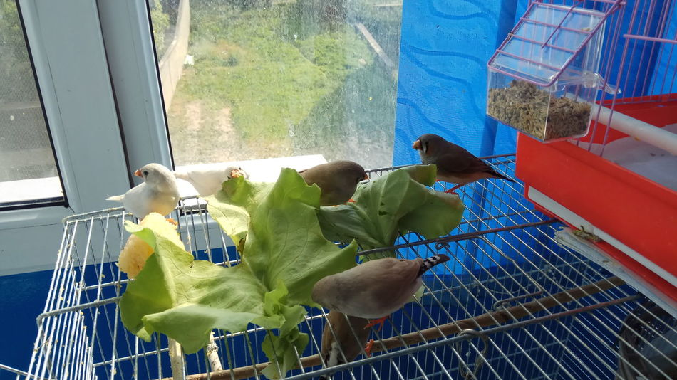 Zebra finches - eating salad Zebra Finches Eating Salad Birds Pets