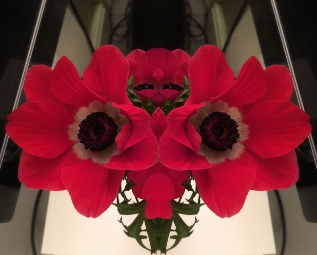 Anemone Seeingdouble Flowerporn