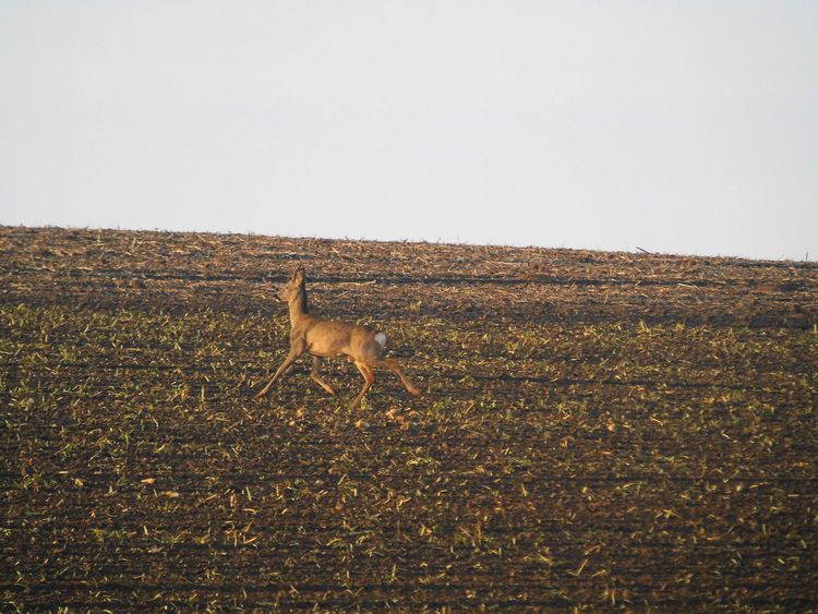 Animal Themes Animal Wildlife Animals In The Wild Clear Sky Copy Space Day Field Full Length Grass Landscape Mammal Nature No People One Animal Outdoors Roe Deer Sky Wildlife
