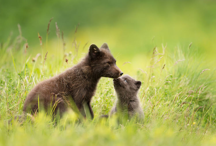 Arctic fox with pup on grass