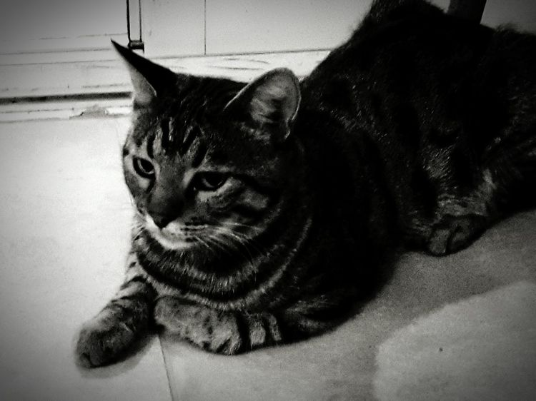 Portait of a Cat kind a B&W Portrait or Anaimal PortaitTouched by Shades Of Grey Animal_collection Sweet Bw_collection
