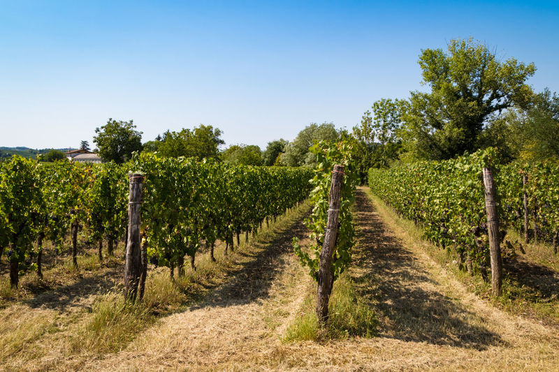 Plant Tree Landscape Sky Vineyard Growth Nature In A Row Field Scenics - Nature Environment Agriculture Land Tranquil Scene Day Rural Scene Clear Sky Tranquility Farm No People Winemaking Plantation Outdoors Collio