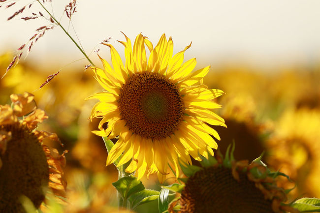 Serie Girasoles Petalos Campo Cultivo Argentina Photography Paisaje Paisaje Natural EyeEm Selects Girasoles Girasol Sun Flower Head Flower Rural Scene Sunset Multi Colored Yellow Summer Sunflower Beauty Herbal Medicine Flowering Plant Plant Part Dandelion Dandelion Seed Uncultivated Cultivated Land